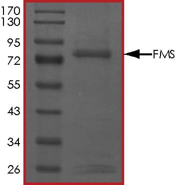 SDS-PAGE - Recombinant human CSF-1-R protein (ab56259)