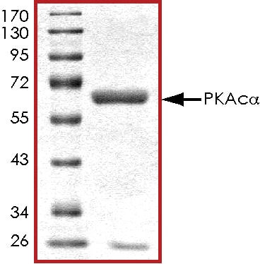 SDS-PAGE - Recombinant human cAMP Protein Kinase Catalytic subunit  (ab56268)