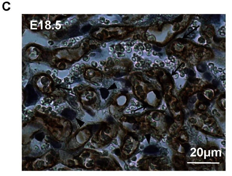 Immunohistochemistry (Formalin/PFA-fixed paraffin-embedded sections) - Anti-CD31 antibody [RM0032-1D12] (ab56299)