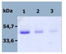 SDS-PAGE - Recombinant Human DR4 protein (ab56518)