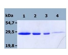 SDS-PAGE - Recombinant Mouse NTAL protein (ab56522)