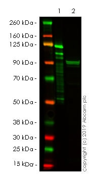 Western blot - Anti-Mitofusin 2 + Mitofusin 1 antibody [3C9] (ab57602)