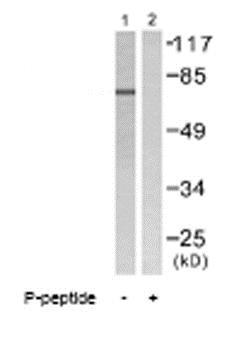 Western blot - Anti-Lamin A + Lamin C (phospho S392) antibody (ab58528)