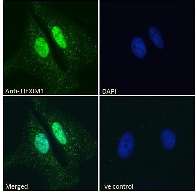 Immunocytochemistry/ Immunofluorescence - Anti-HEXIM1 antibody (ab58573)