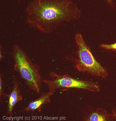 Immunocytochemistry/ Immunofluorescence - Anti-IDH3A antibody (ab58641)