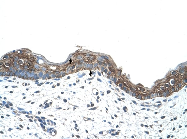Immunohistochemistry (Formalin/PFA-fixed paraffin-embedded sections) - Anti-Ankyrin erythroid/ANK antibody (ab58698)
