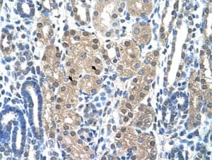 Immunohistochemistry (Formalin/PFA-fixed paraffin-embedded sections) - Anti-CSP-C antibody (ab58852)
