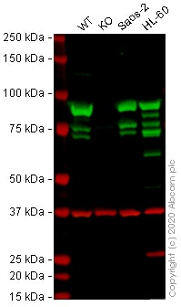 Western blot - Anti-Hsp90 antibody [H90-10] (ab58950)