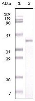 Western blot - Anti-Visfatin antibody [4E11C9] (ab59106)
