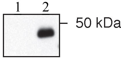 Western blot - Anti-IER5 antibody (ab59133)