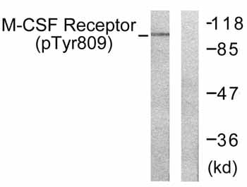 Western blot - Anti-CSF-1-R (phospho Y809) antibody (ab59199)