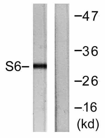 Western blot - Anti-RPS6 antibody (ab59261)