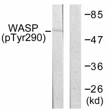 Western blot - Anti-WASP/Wiskott-Aldrich syndrome protein (phospho Y290) antibody (ab59278)