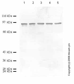 Western blot - Anti-Neurotrypsin antibody - Catalytic domain (ab59454)