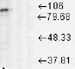 Western blot - Anti-Hsp90 antibody [D7a] (ab59459)