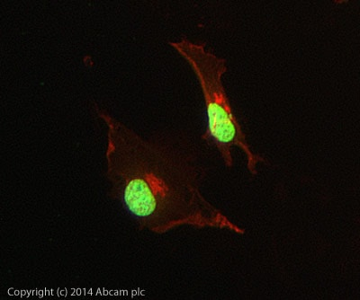 Immunocytochemistry/ Immunofluorescence - Anti-Histone H3 (tri methyl K27) antibody [mAbcam 6002] - ChIP Grade (ab6002)