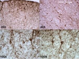 Immunohistochemistry (Frozen sections) - Anti-CNPase antibody [11-5B] (ab6319)