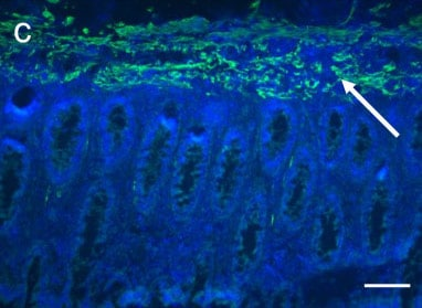 Immunohistochemistry (Frozen sections) - Anti-Desmin antibody [DE-U-10] - Cytoskeleton Marker (ab6322)