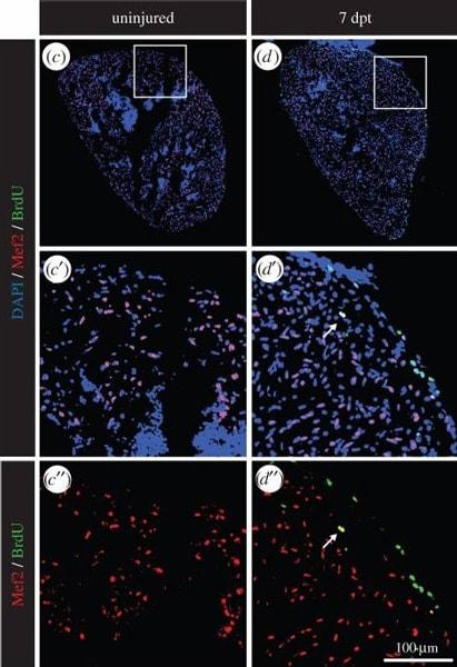 Immunohistochemistry (Frozen sections) - Anti-BrdU antibody [BU1/75 (ICR1)] (ab6326)