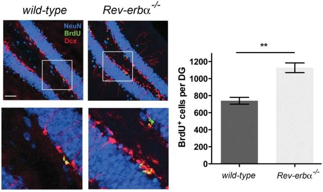 Immunohistochemistry - Free Floating - Anti-BrdU antibody [BU1/75 (ICR1)] - Proliferation Marker (ab6326)