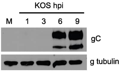 Western blot - Anti-HSV1 gC Envelope Protein antibody [3G9] (ab6509)