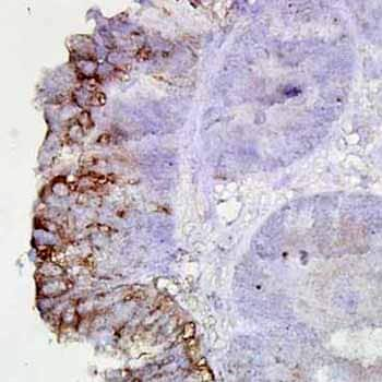 Immunohistochemistry (Formalin/PFA-fixed paraffin-embedded sections) - Anti-Hsp90 antibody [AC-16] (ab6536)