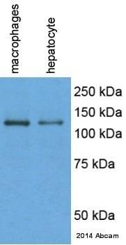 Western blot - Anti-F4/80 antibody [CI:A3-1] (ab6640)