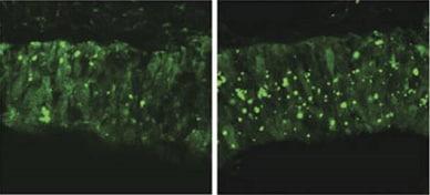 Immunohistochemistry (Formalin/PFA-fixed paraffin-embedded sections) - Biotin Anti-Fluorescein antibody (ab6655)