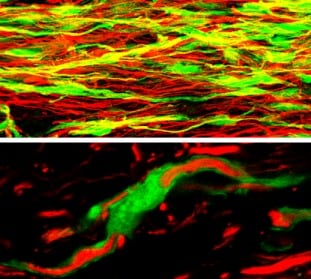 Immunohistochemistry (Frozen sections) - Anti-GFP antibody (FITC) (ab6662)