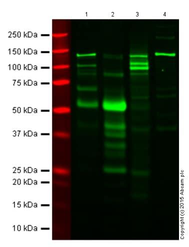 Western blot - Anti-IL-6 antibody (ab6672)