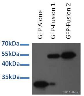 Western blot - Anti-GFP antibody (ab6673)