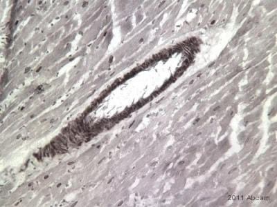 Immunohistochemistry (Frozen sections) - Goat Anti-Rabbit IgG H&L (Biotin) (ab6720)