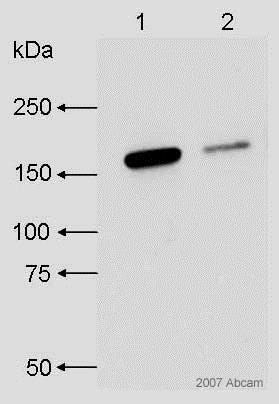 Western blot - Rabbit Anti-Rat IgG H&L (HRP) (ab6734)