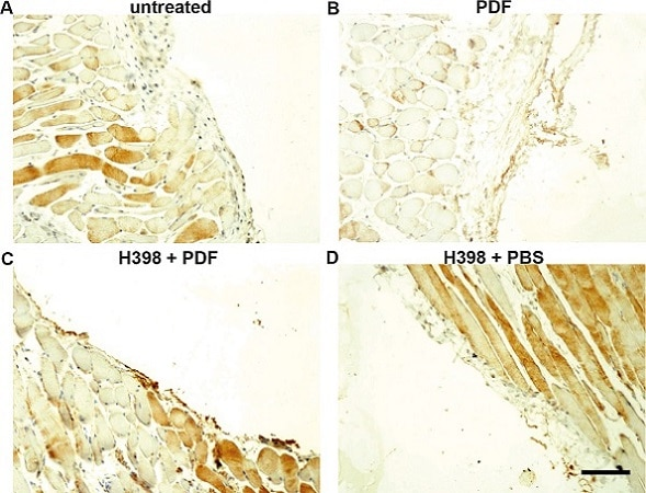 Immunohistochemistry (Formalin/PFA-fixed paraffin-embedded sections) - Rabbit Anti-Sheep IgG H&L (HRP) (ab6747)