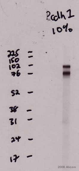 Western blot - Goat Anti-Mouse IgG H&L (HRP) (ab6789)
