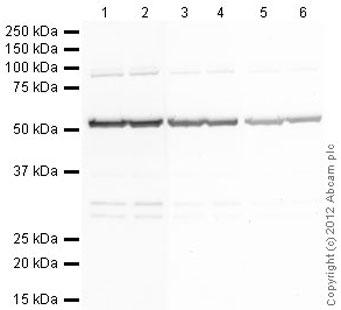 Western blot - Goat Anti-Rat IgG H&L (Alkaline Phosphatase) (ab6846)