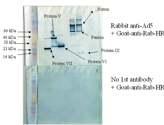 Western blot - Anti-Adenovirus Type 5 antibody (ab6982)