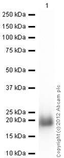 Western blot - Recombinant Human eIF4EBP1 protein (ab60007)
