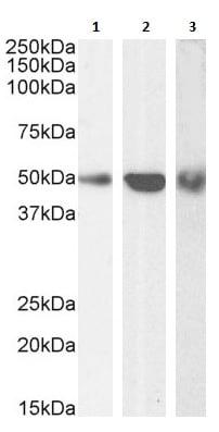 Western blot - Anti-TRAF2 antibody (ab60169)