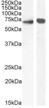 Western blot - Anti-SHP1 antibody (ab60268)