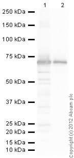 Western blot - Recombinant mouse JNK1 protein (ab60304)
