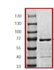 SDS-PAGE - Recombinant mouse JNK1 protein (ab60304)