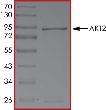 SDS-PAGE - Recombinant human AKT2 protein (ab60322)