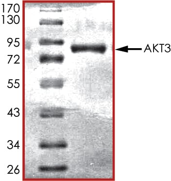 SDS-PAGE - Recombinant human AKT3 protein (ab60324)