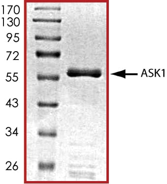 SDS-PAGE - Recombinant human ASK1 protein (ab60325)