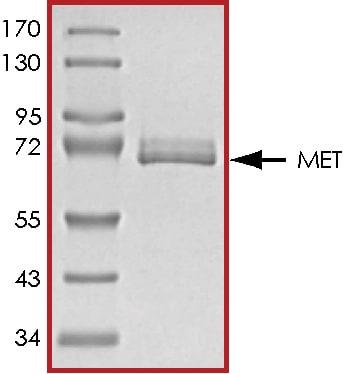 SDS-PAGE - Recombinant rat Met (c-Met) protein (ab60334)