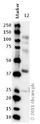 Western blot - Anti-5HT4 Receptor antibody (ab60359)