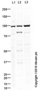 Western blot - Anti-SAP97 antibody (ab60551)
