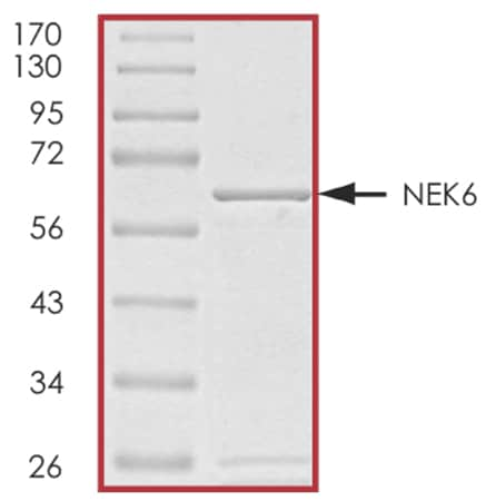 SDS-PAGE - Recombinant human NEK6 protein (ab60698)