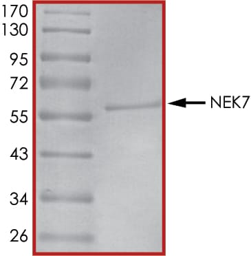 SDS-PAGE - Recombinant human NEK7 protein (ab60703)